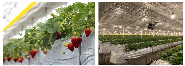 太陽ホールディングス、スマート農業により1粒1000円のブランドイチゴを栽培